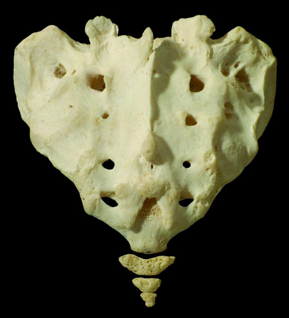Sacrum with the luz bone below
